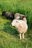 Pecore di Romney nell'erba alta. Immagini Stock