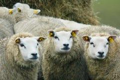 Pecore di sguardo curiose Fotografia Stock Libera da Diritti