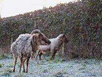 Pecore di Soay Immagini Stock Libere da Diritti