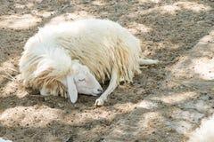 Pecore di sonno Immagini Stock Libere da Diritti