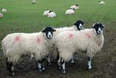 Pecore di Swaledale Fotografia Stock