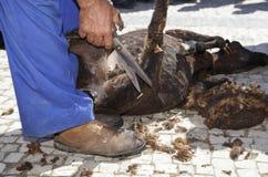 Pecore di taglio dell'agricoltore maturo Fotografie Stock Libere da Diritti