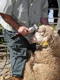 Pecore di taglio dell'agricoltore maturo con il tagliatore Fotografia Stock