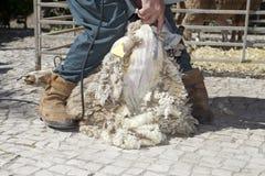 Pecore di taglio dell'agricoltore maturo con il tagliatore Fotografia Stock Libera da Diritti