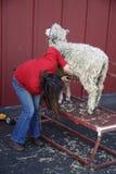 Pecore di taglio della donna Immagini Stock