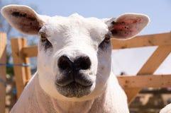 Pecore di Texel Immagini Stock