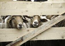 Pecore dietro la rete fissa Immagine Stock Libera da Diritti