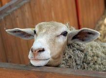 Pecore divertenti della tazza Immagini Stock