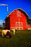 Pecore domestiche. Immagine Stock Libera da Diritti