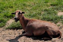 Pecore domestiche del Cameroun sul farmfield Fotografie Stock