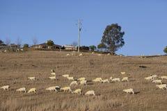 Pecore dopo lo scorrimento Immagine Stock Libera da Diritti