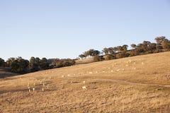 Pecore dopo lo scorrimento Fotografia Stock Libera da Diritti