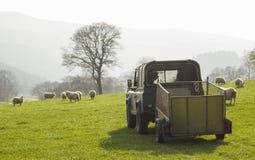 Pecore e bestiame sani, rurale idilliaco, Regno Unito Fotografia Stock