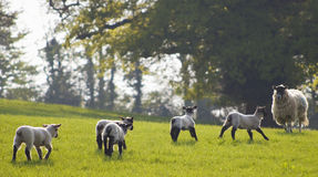 Pecore e bestiame sani, rurale idilliaco, Regno Unito Immagine Stock