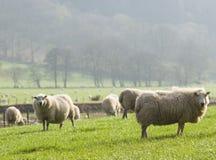 Pecore e bestiame sani, rurale idilliaco, Regno Unito fotografie stock