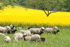 Pecore e Canola Fotografia Stock Libera da Diritti