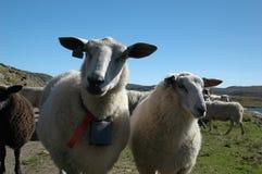 Pecore e cielo blu Immagini Stock