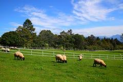 Pecore e cielo blu fotografia stock