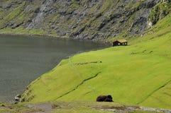 Pecore e collina di isole faroe Immagine Stock