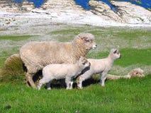 Pecore e Glassland Fotografie Stock Libere da Diritti