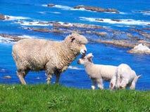 Pecore e Glassland Fotografie Stock