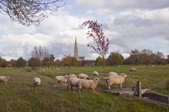 Pecore e guglia Fotografia Stock Libera da Diritti