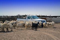 Pecore e l'automobile Immagini Stock