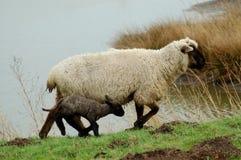 Pecore e lambkin fotografia stock
