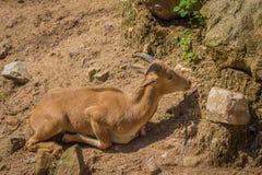 Pecore e luce solare di Barbary Fotografia Stock