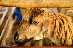 Pecore e marchio auricolare Fotografia Stock Libera da Diritti