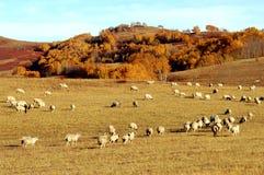 Pecore e pascolo Fotografie Stock Libere da Diritti