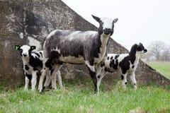 Pecore e tre agnelli in prato Fotografia Stock