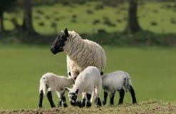 Pecore e tripletti della madre Immagine Stock Libera da Diritti