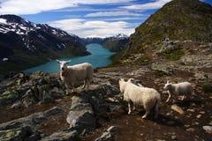 Pecore e viandante in Norvegia Fotografie Stock