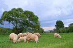 Pecore ed agnelli Immagini Stock