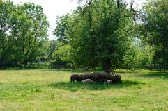 Pecore ed agnelli Immagini Stock Libere da Diritti