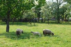 Pecore ed agnelli Fotografie Stock