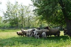 Pecore ed agnelli Fotografia Stock
