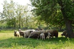 Pecore ed agnelli Fotografia Stock Libera da Diritti
