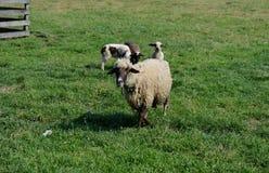Pecore ed agnelli Immagine Stock