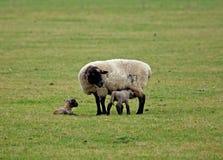 Pecore ed agnelli appena nati Fotografia Stock