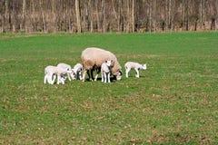 Pecore ed agnelli che pascono Fotografie Stock Libere da Diritti