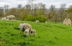 Pecore ed agnelli che pascono in un campo Immagine Stock Libera da Diritti