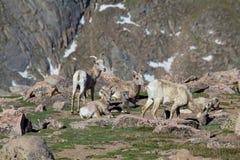Pecore ed agnelli del Bighorn nell'alpino Fotografie Stock Libere da Diritti