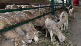 Pecore ed agnelli di allevamento all'azienda agricola archivi video