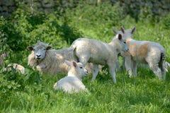 Pecore ed agnelli nel campo, Abbotsbury Fotografie Stock Libere da Diritti