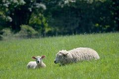 Pecore ed agnelli nel campo, Abbotsbury Immagine Stock