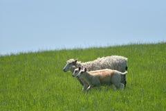 Pecore ed agnelli nel campo, Abbotsbury Immagini Stock