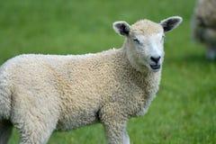 Pecore ed agnelli nel campo, Abbotsbury Fotografie Stock