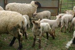 Pecore ed agnelli in penna Immagini Stock